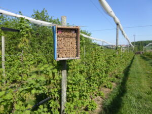Mauerbienen als Befruchtungshilfe in unseren Johannisbeeren